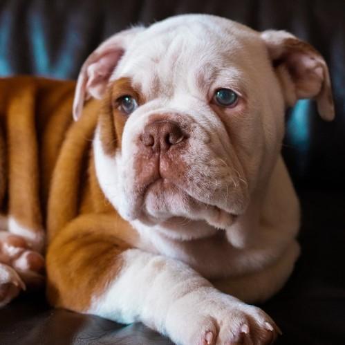 blog luba jak pielęgnować psie fałdy